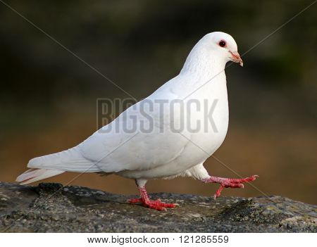 Strutting pigeon