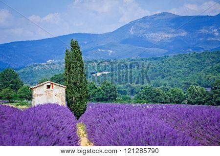 Lavanda fields. Provence