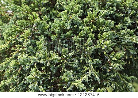 Junipers are coniferous plants of cypress family Cupressaceae.