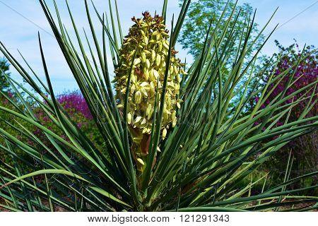 Yucca Plant flower blossom taken during spring