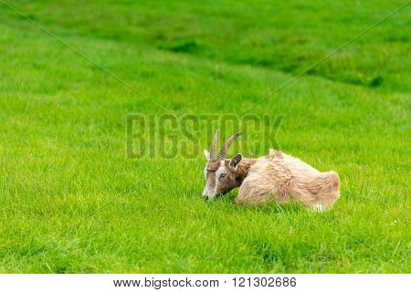 Goat Eating Of Green Grass At Farm
