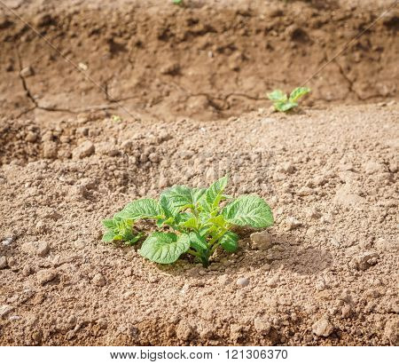 Potato plantation closeup