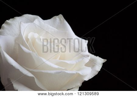 Close up white rose on black background