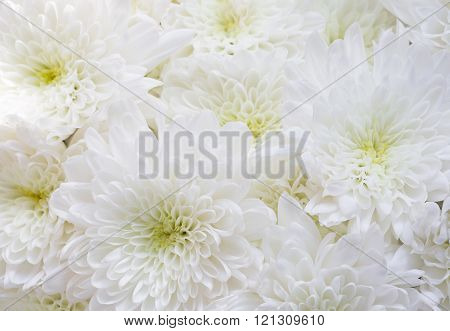 Close up bouquet of white chrysanthemum flowers