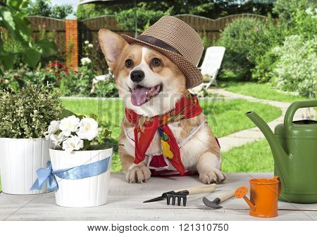 Portrait Of A Welsh Corgi Pembroke Dog In A Hat