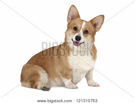 Welsh Corgi Pembroke Dog Isolated On White