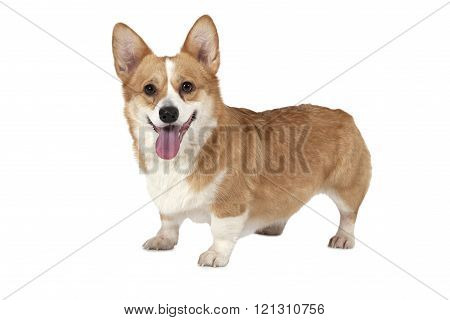 Welsh Corgi Pembroke Dog In A Studio