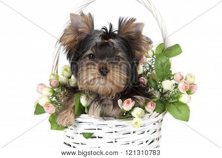 Yorkshire Terrier In A Flower Basket