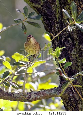 Migratory Palm Warbler bird perching on a tree branch with head tilted