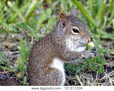 Squinting Eastern Gray Squirrel holding green Cabbage Palm berry with speckled dirt from digging