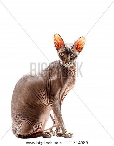 Sphynx Cat isolated on the white background