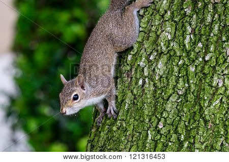 Cautious young Eastern Gray Squirrel coming down from tree