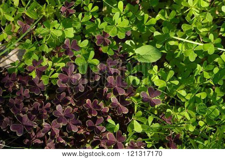 Two Coloured, Green And Purple, Wild Clovers