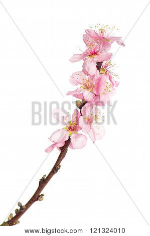 Almond Tree Blossoms Isolated On White