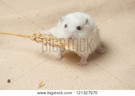 Hamster Eat A Seed.