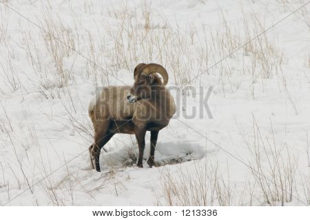 Big Horn In Snow