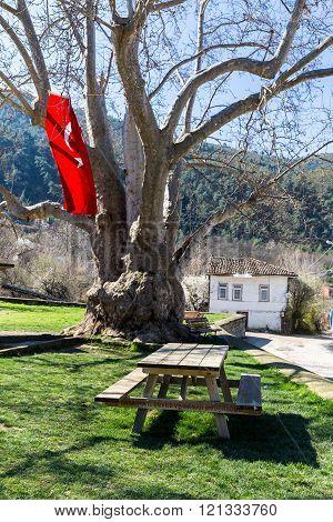 Historic sycamore tree in Tarakli
