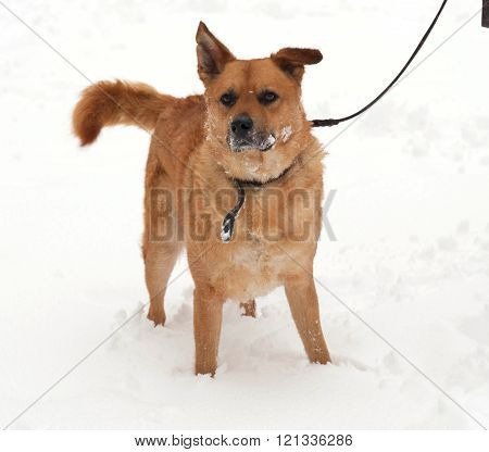 Red mongrel dog standing on white snow
