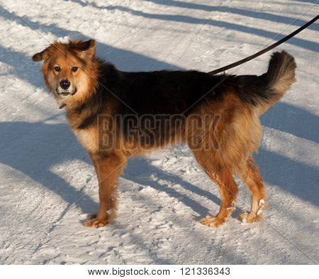 Red and black mongrel dog standing on white snow