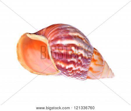 Sea Mollusc Colorful Shell Isolated