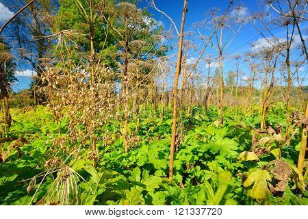 Cow parsnip or toxic hogweed (Heracleum) overgrown field. Ecological problem.