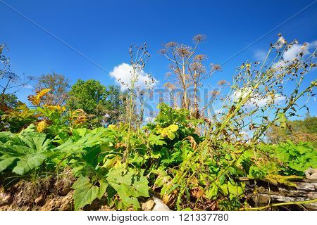 Cow Parsnip Or The Toxic Hogweed (heracleum)