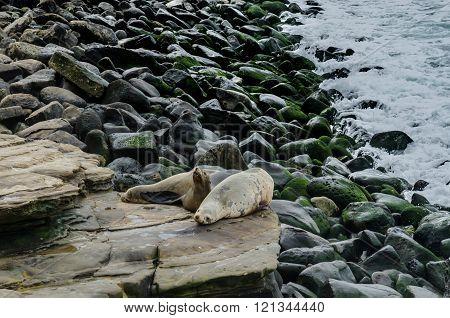 Sea Lion Waking Up On Rocks