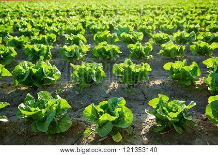 Green romain letucce field in a row in Mediterranean area