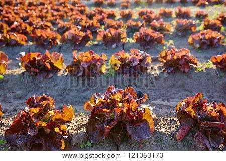Red oak leaf letucce field in a row in Mediterranean area