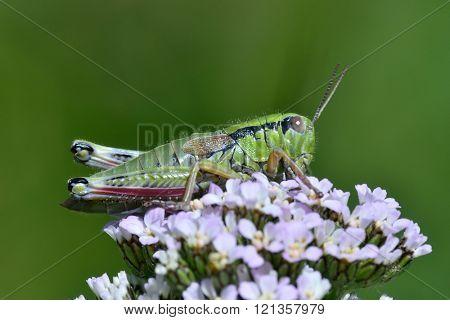 grasshopper (locusta viridissima) in natural habitat