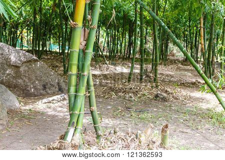 Green Bamboo trees forest