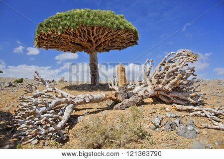 Dead dragon tree - Dracaena cinnabari - endemic tree from Soqotra, Yemen