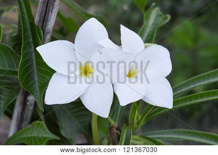 beautiful white plumeria flower in nature garden
