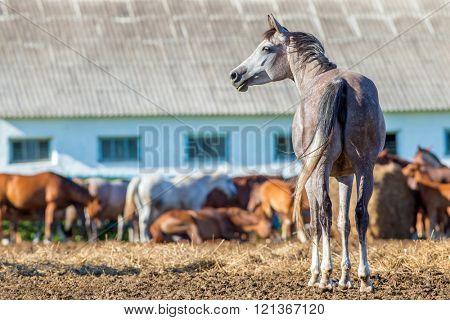 Herd of Arabian horses in paddock eating hay