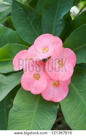 beautiful pink Euphorbia flower in nature garden