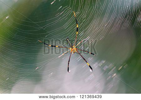 Skinny garden spider under the sunlight on this web