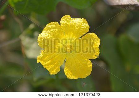 Sponge Gourd flower in garden
