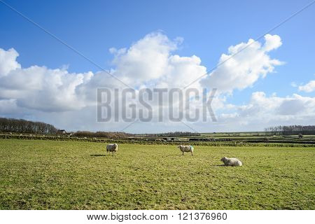 Wide View On Dutch Landscape With Sheep, Meadow And Cloudy Skies