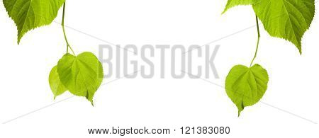 Green Linden-tree Leaves