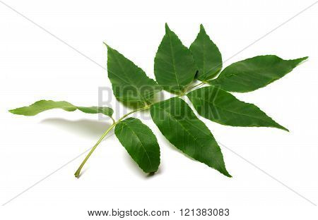 Green Ash-tree Leaf