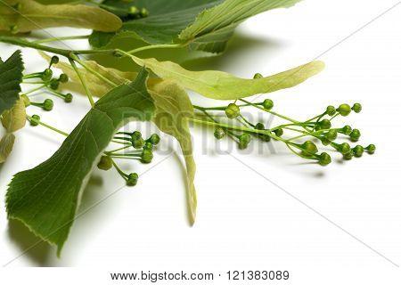 Green Tilia Sprig Before Blossom