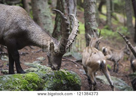 Male Alpine Ibex Eating From A Rock