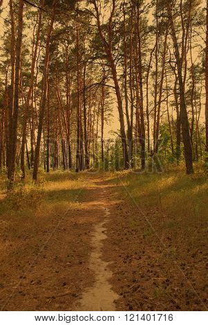 Path Through A Pine Forest