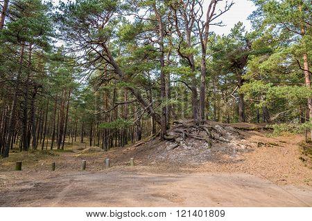Pine tree forest near Baltic sea in Jurmala, Latvia
