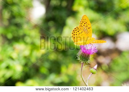 Silver-washed Fritillary (Argynnis paphia) on a thistle.