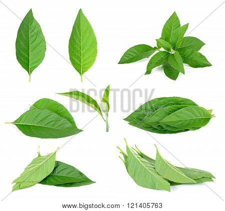 Adhatoda vasica or medicinal Basak leaf isolated