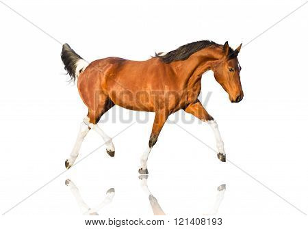 Isolate Of The Piebald Horse On The White Background