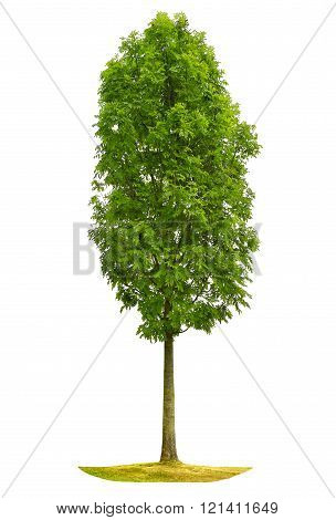 Green Tree On White Background. Isolated Object