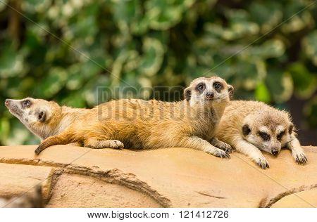 Meerkat Resting On Ground.