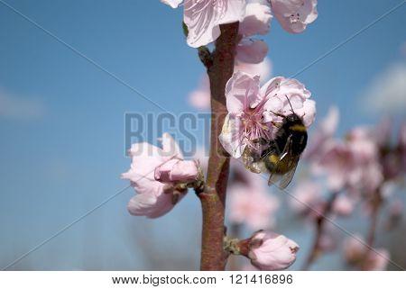 Bumblebee On Peach Flower Macro
